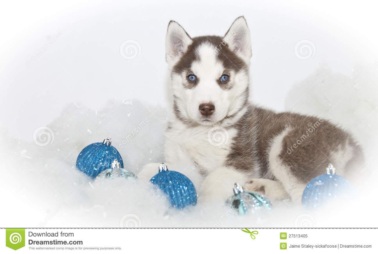 Image Result For Free Siberian Husky Puppies