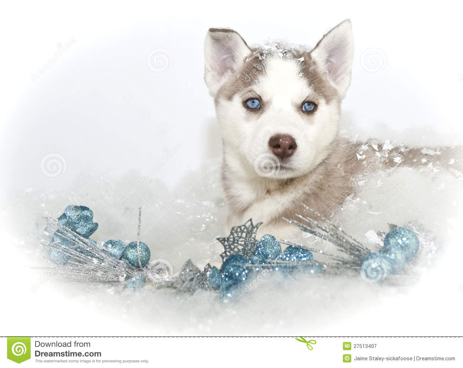 Husky Christmas Puppy.Beautiful Christmas Husky Puppy Stock Image Image Of Snow