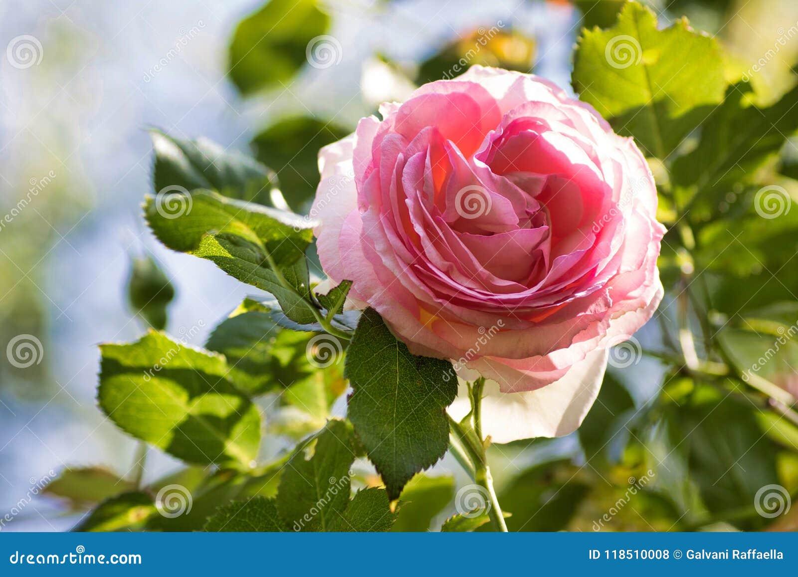 Beautiful Climbing Rose Pierre De Ronsard In Bloom Stock