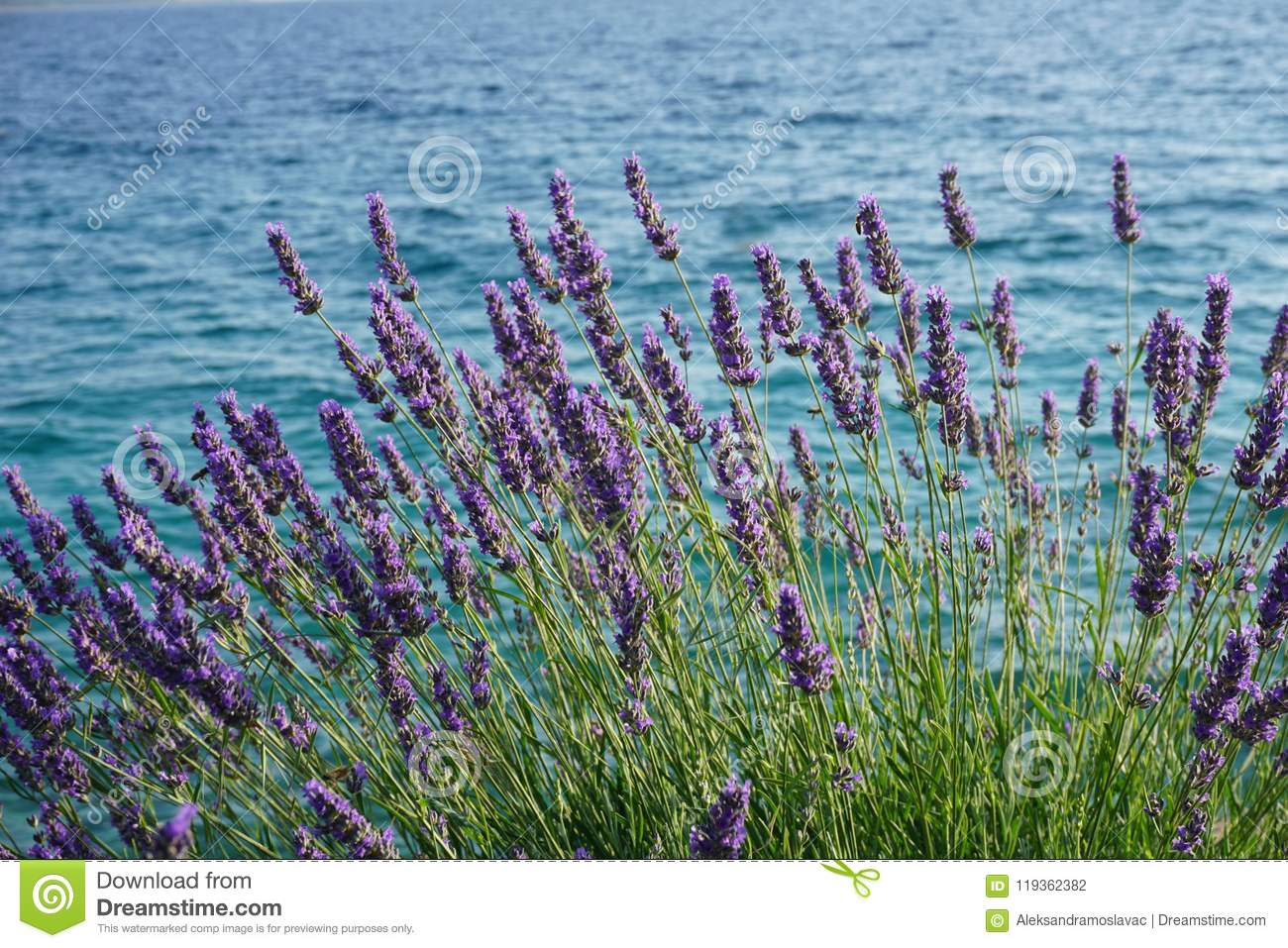 Lavender Bush With Purple Flowers On The Adriatic Sea Coast In
