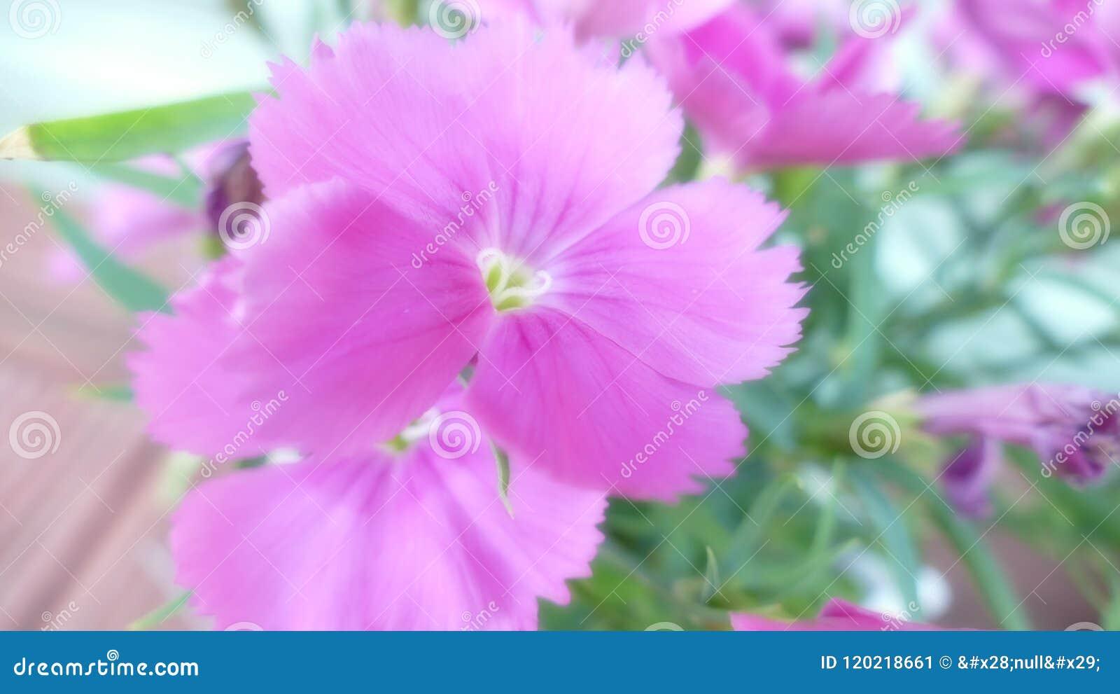 Beautiful close up of a pink pansy stock image image of brown beautiful close up of a pink pansy mightylinksfo