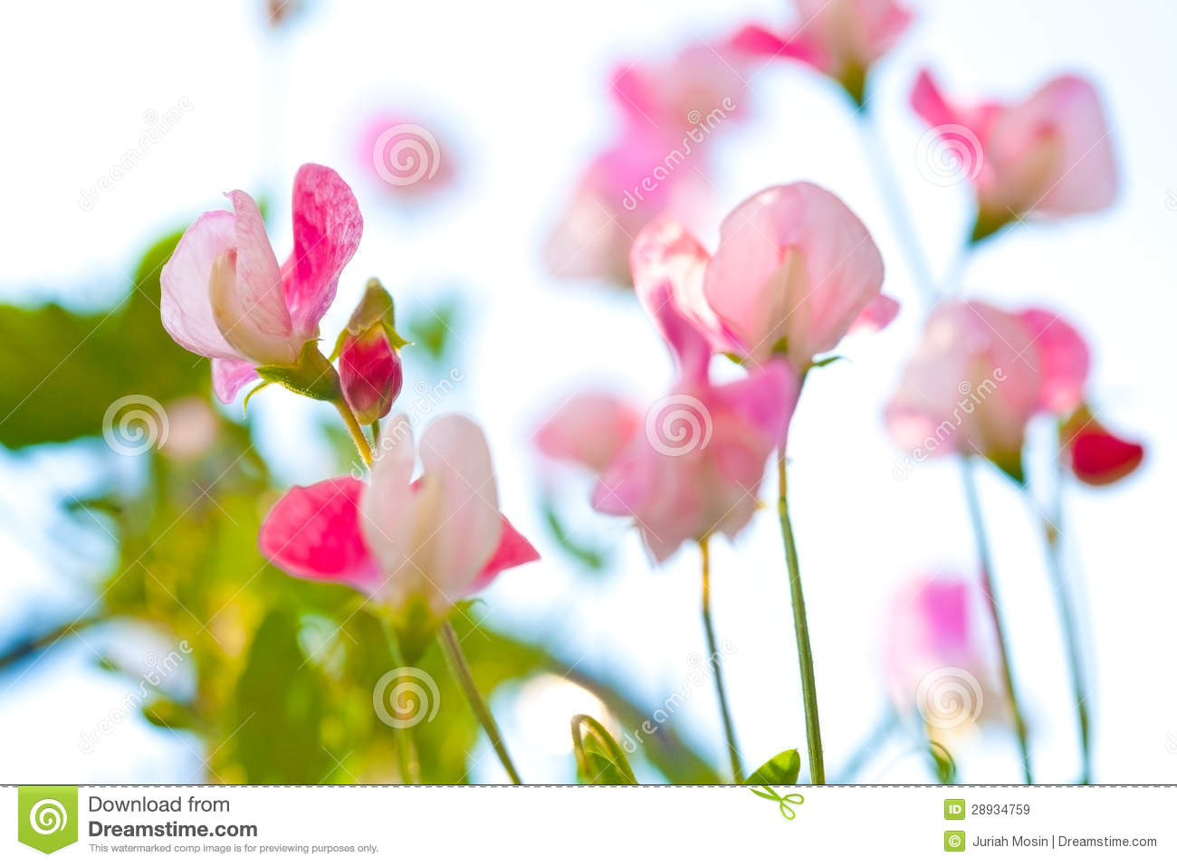 Beautiful Close Up Of Pink Sweet Pea Flowers Stock Image Image