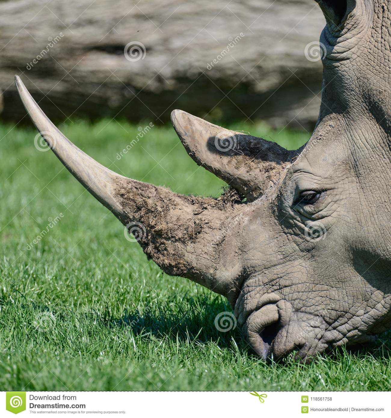 Lovely profile close up portrait of Southern White Rhinoceros Rh