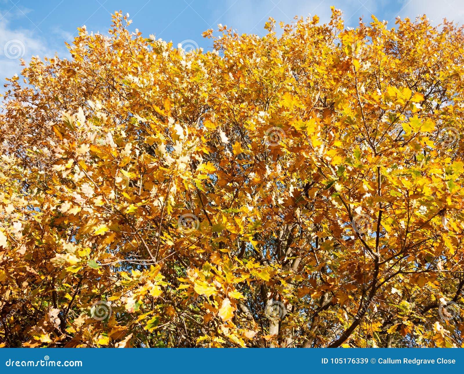 Beautiful close up yellow autumn leaves background tree stock image beautiful close up yellow autumn leaves background tree essex england uk mightylinksfo