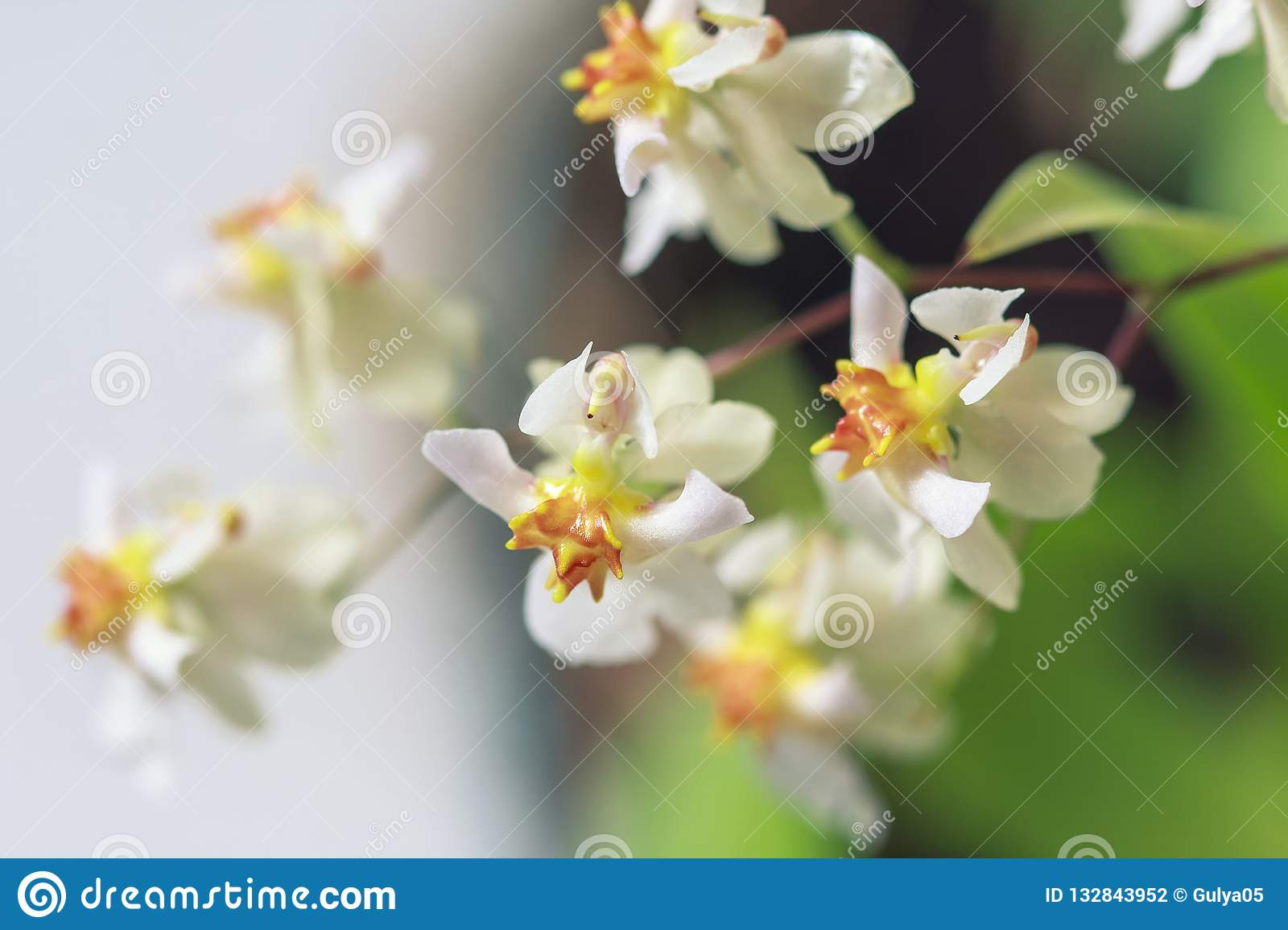 Beautiful closeup of an orchid White Oncidium Twinkle mini orchid