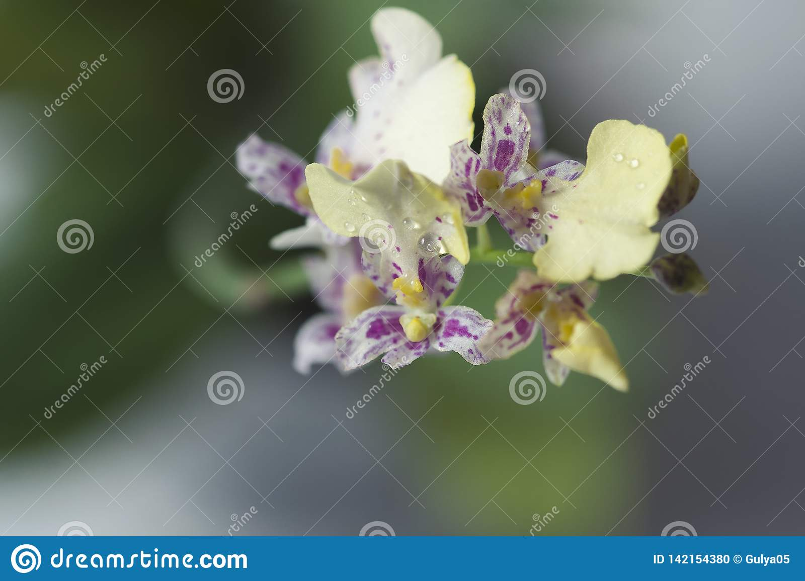 Beautiful closeup of an orchid White Oncidium Twinkle mini orchid.