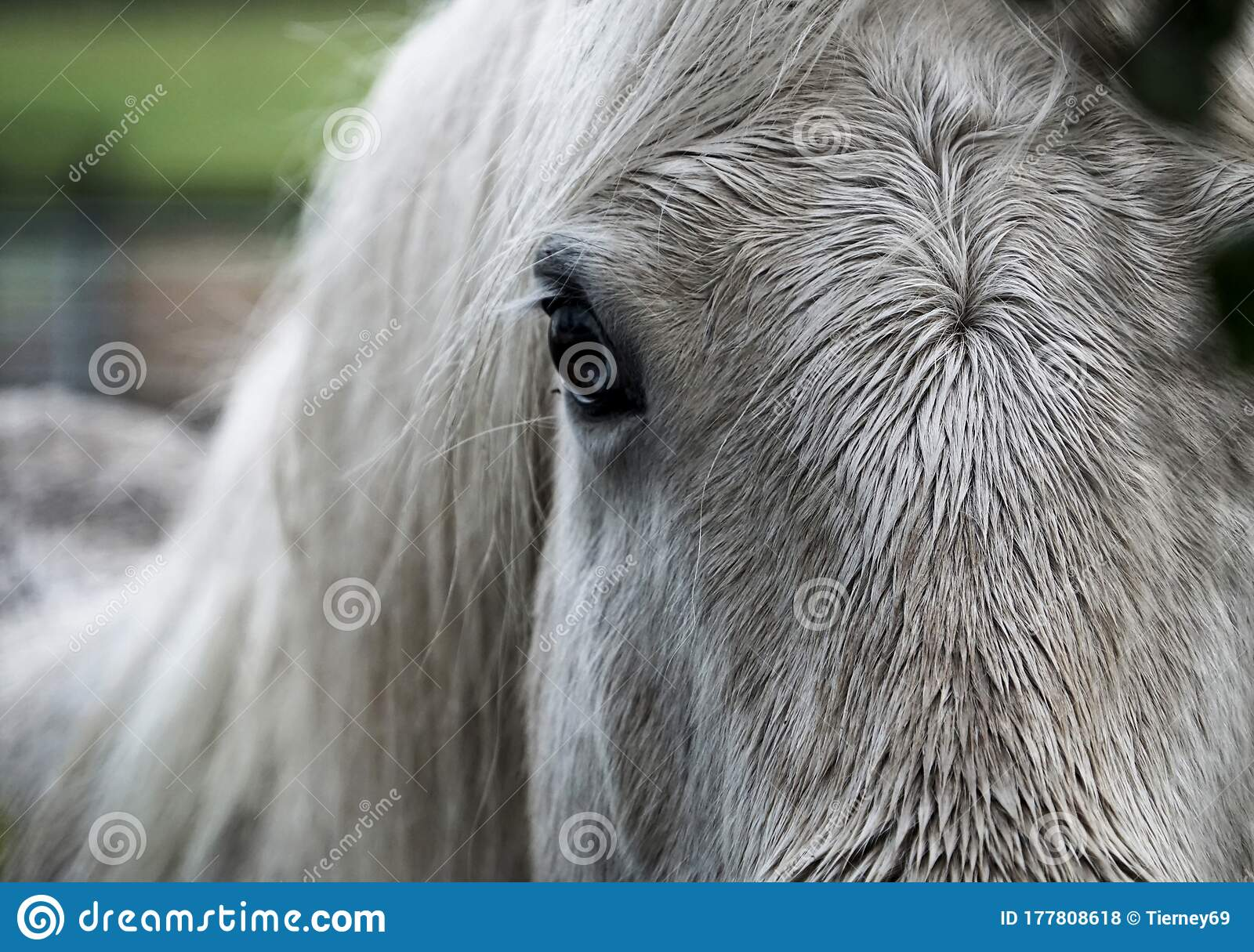 Beautiful Closeup Of White Horse Face Focus On Forelock And Dark Eye Stock Photo Image Of Foal Nature 177808618