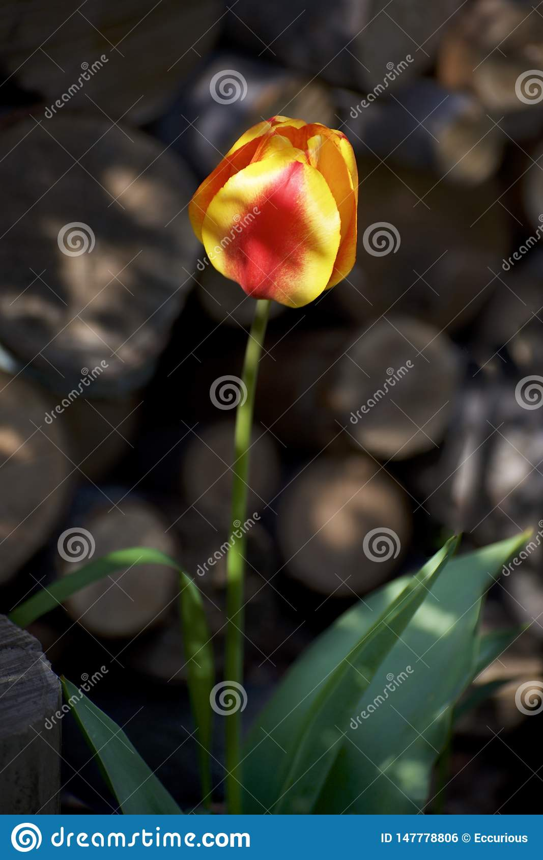Closeup of a yellow and red tulip