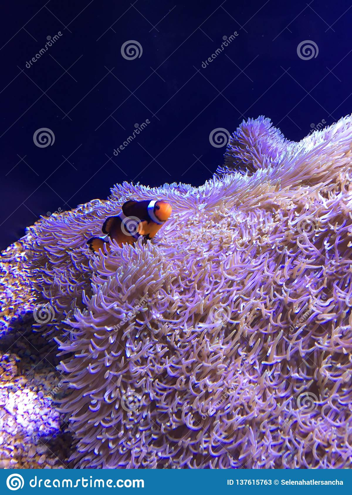 Beautiful Clownfish Swimming on Carpet Anemone