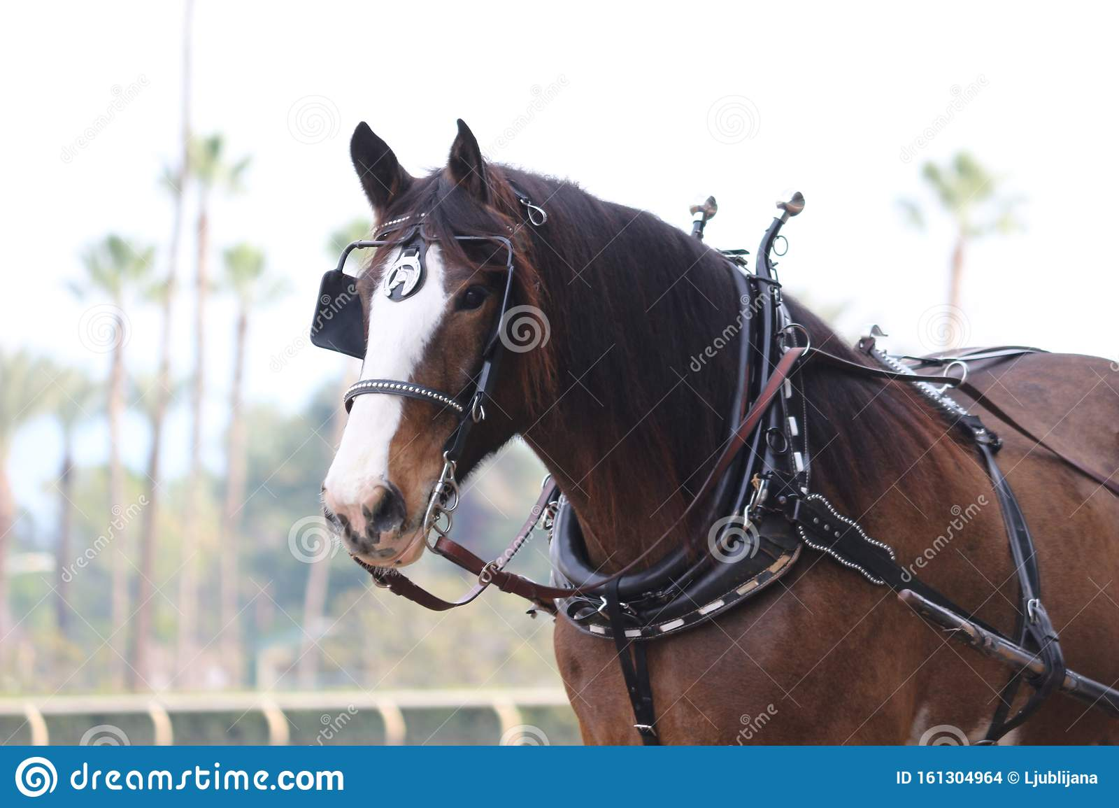 130 Clydesdale Harness Photos Free Royalty Free Stock Photos From Dreamstime