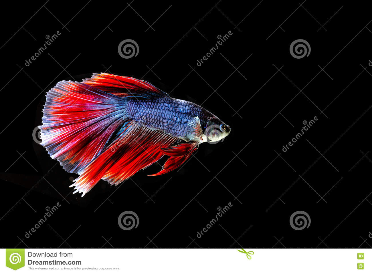 Beautiful color betta fish stock photo. Image of colorful - 79019286