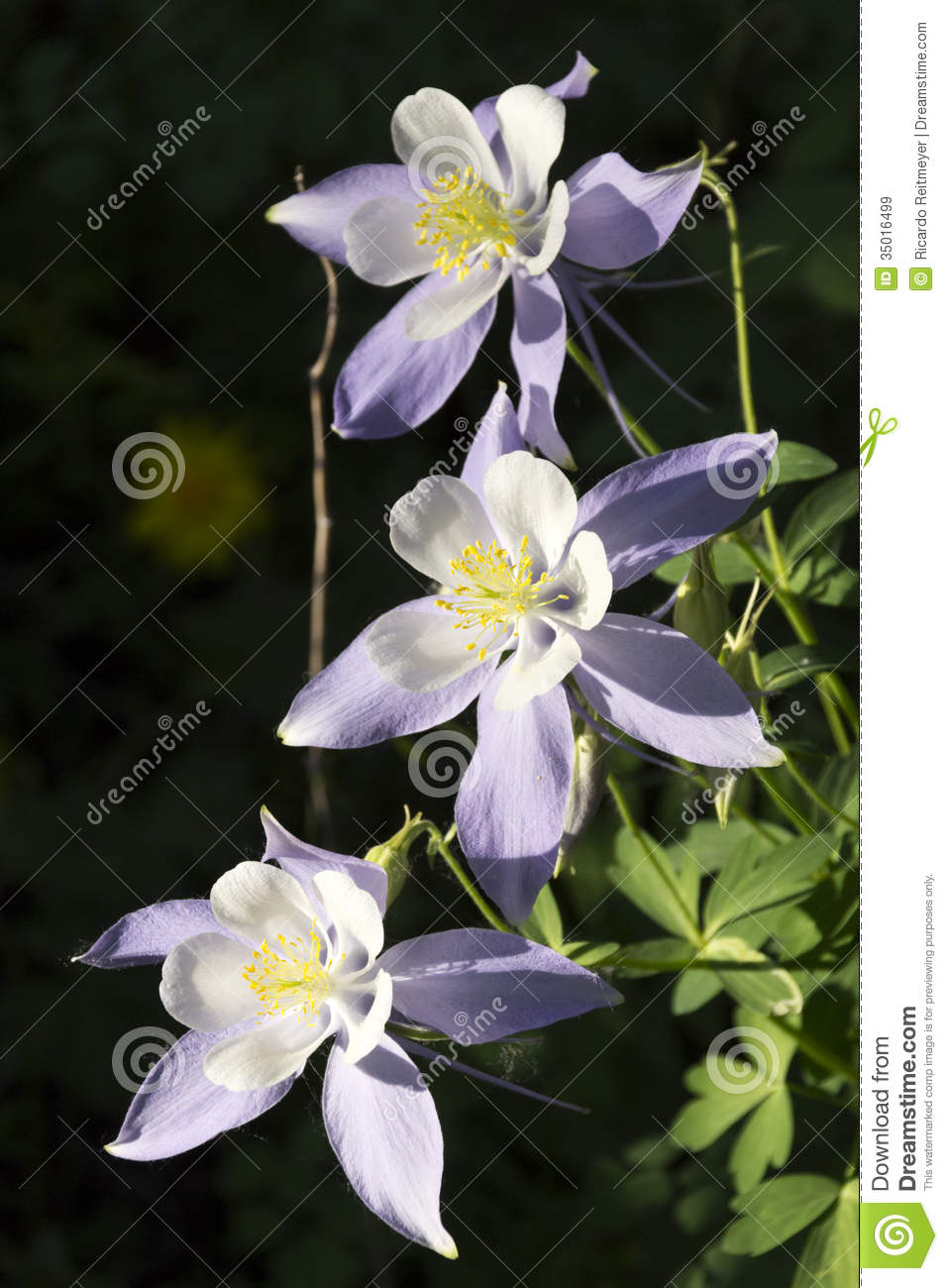 Beautiful colorado alpine columbine flowers along vail mountain beautiful colorado alpine columbine flowers along vail mountain hiking trail purple plant izmirmasajfo