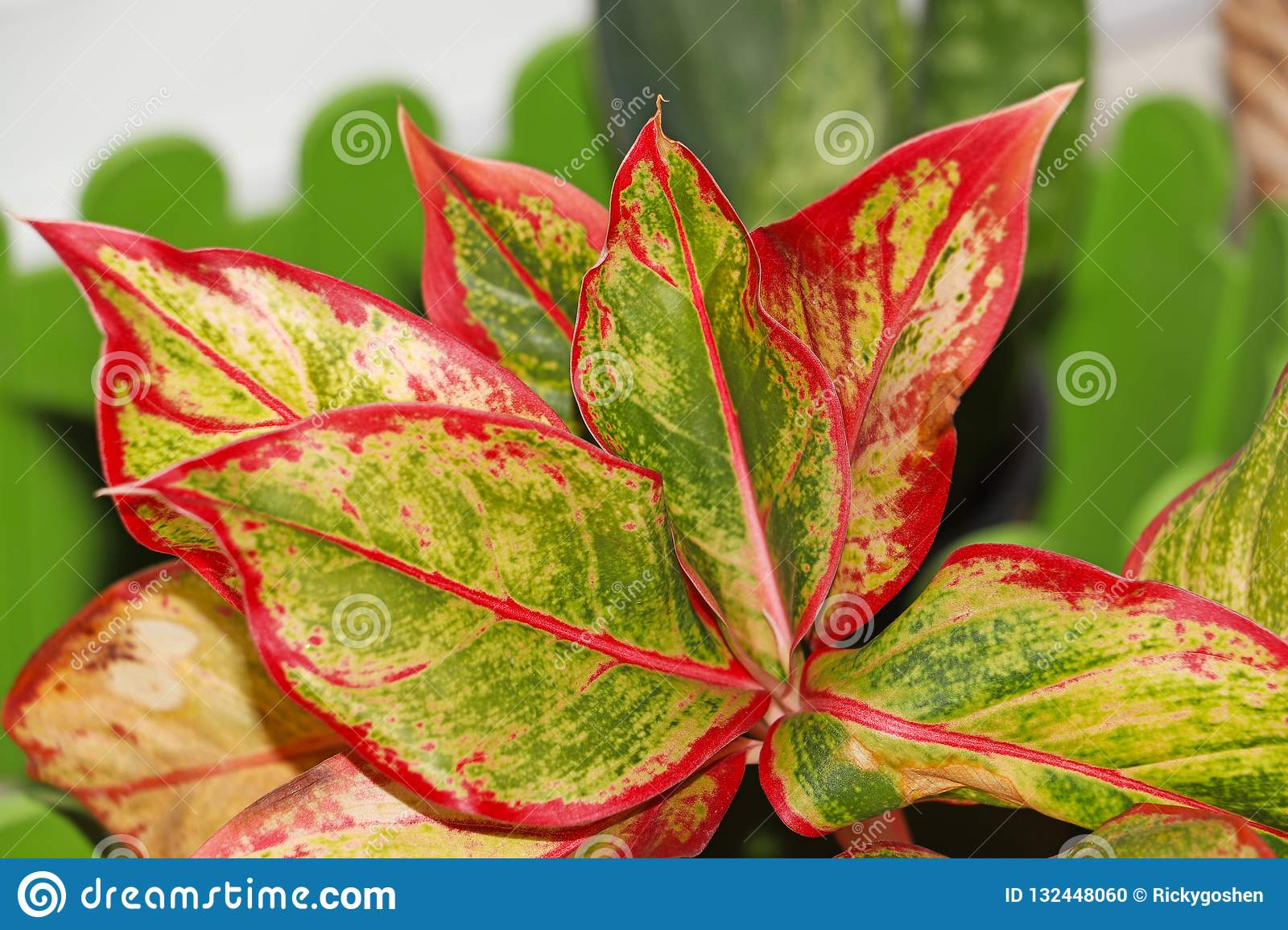 Beautiful colored leaves in a house plant