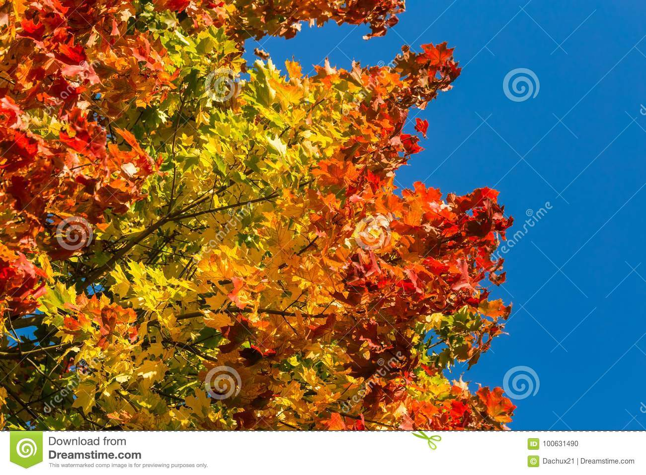 Beautiful Colorful Autumn Leaves Of Maple Tree In Park Vivid Color