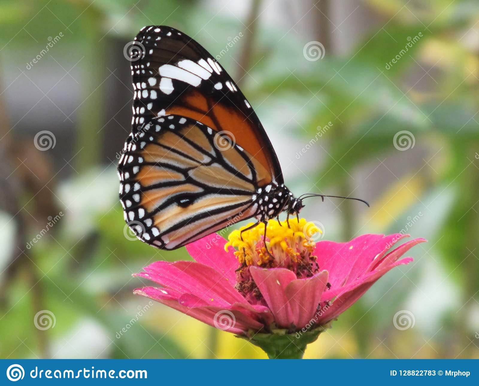 Monarch Beautiful Colorful Butterfly Backgrounds Stock Image