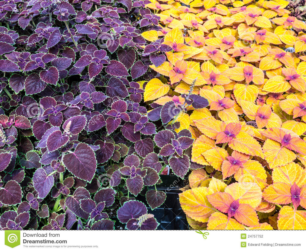 Download Beautiful Colorful Coleus Garden Plants. Stock Photo   Image Of  Foliage, Plants: