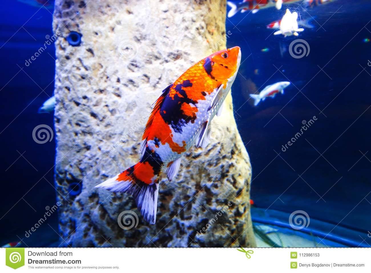 A beautiful colorful fish in an aquarium
