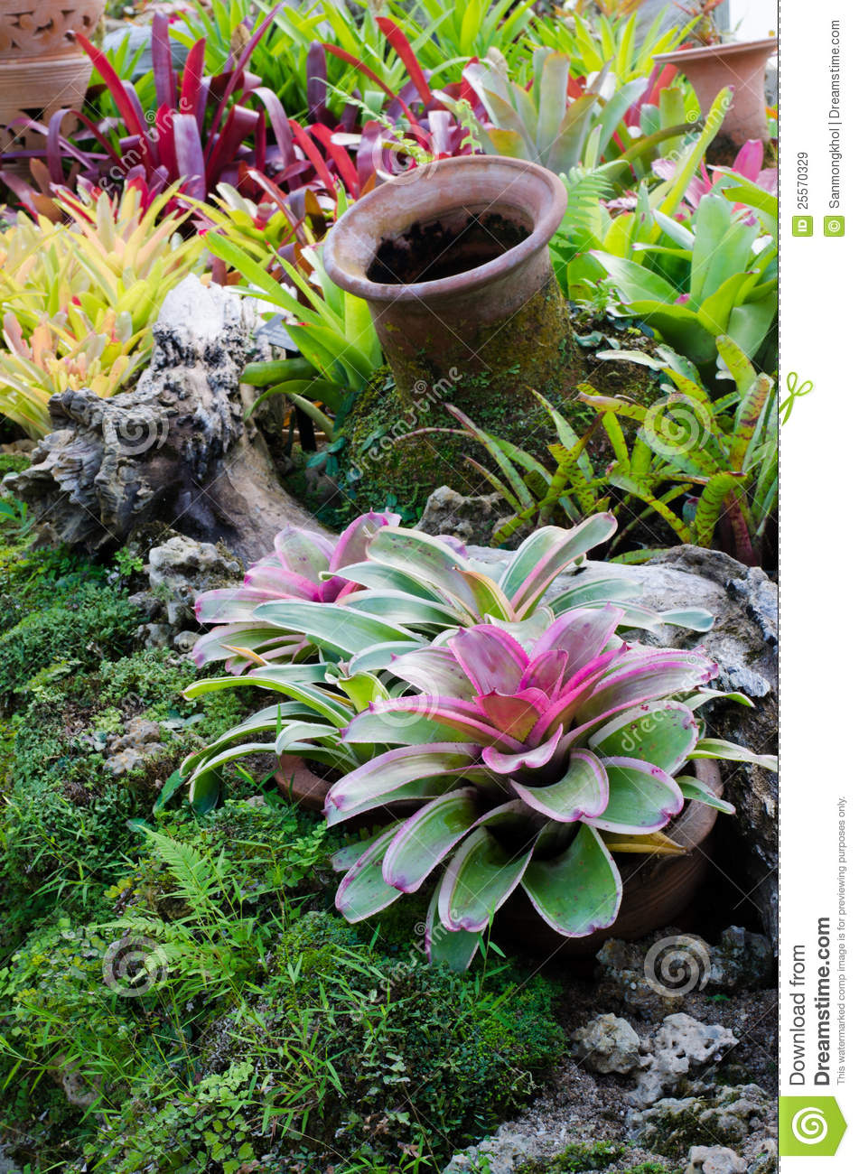 Beautiful Colorful On Garden S Bromeliad Plant Stock