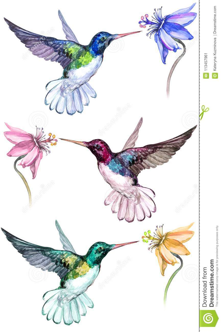 Beautiful colorful hummingbirds drink flower nectar. Isolated on white background.