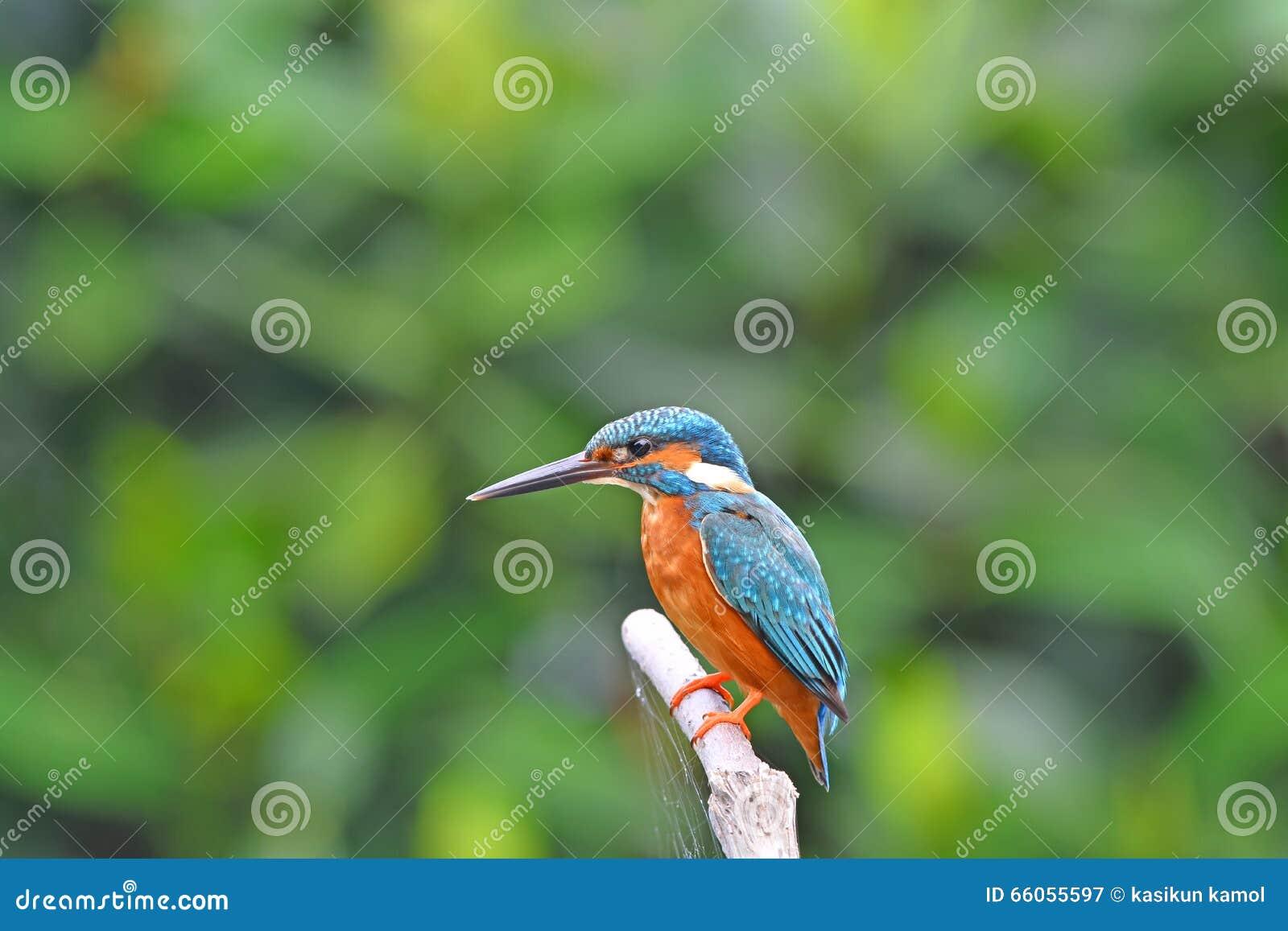 Beautiful Colorful Kingfisher Bird, Male Blue-eared