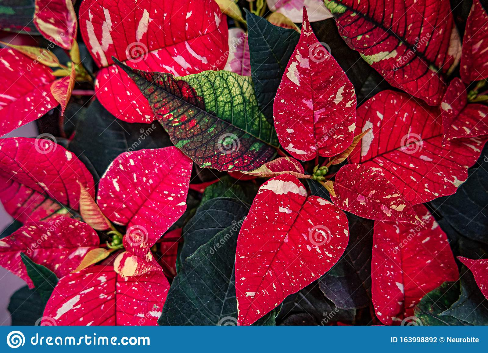 Beautiful Colorful Leaves And Flowers Of House Plants In A Garden Closeup Details Stock Photo Image Of Environment Gardening 163998892