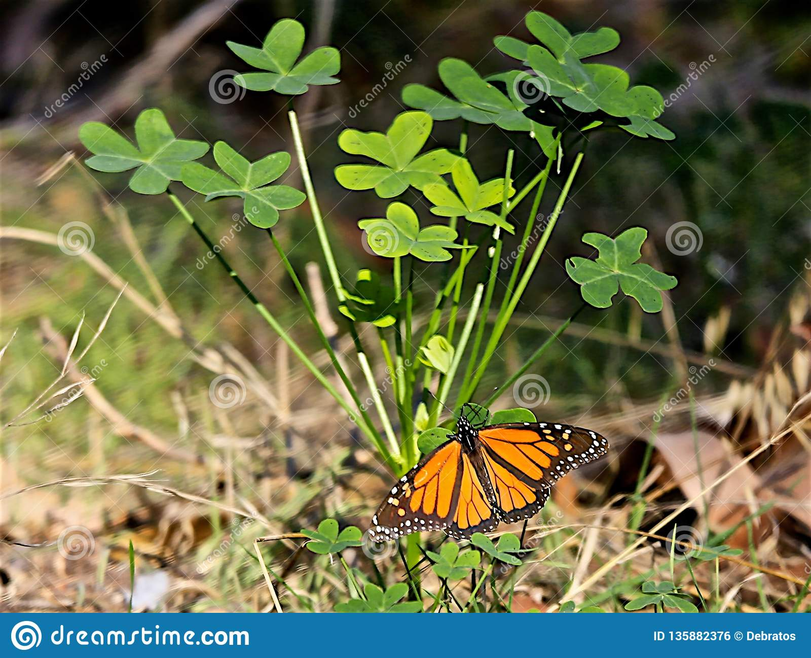 Monarch butterfly leaves