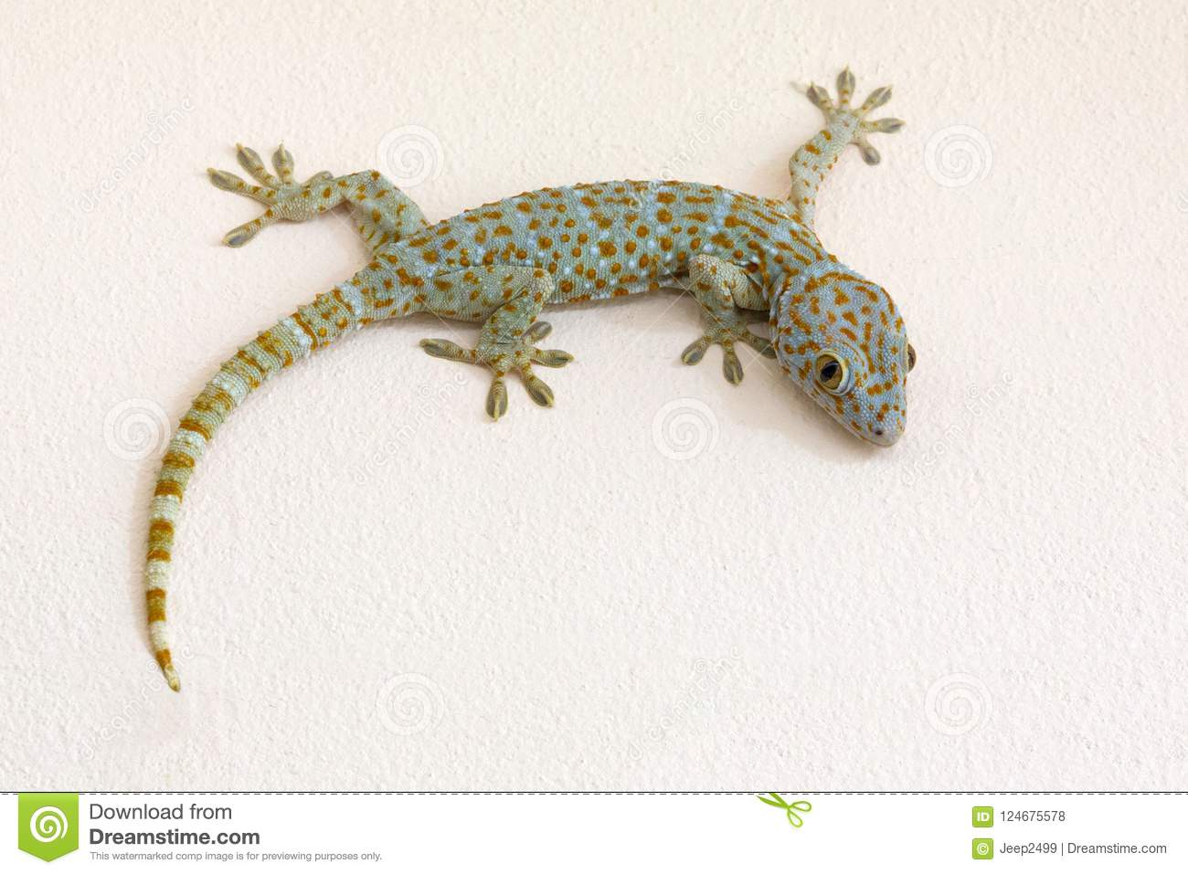 Colorful patterns of gecko on plaster wall.