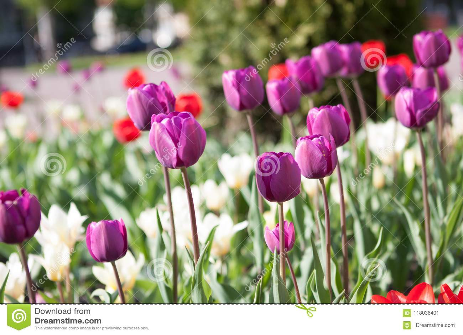 Beautiful Colorful Purple Tulips Flowers Bloom In Spring Garden