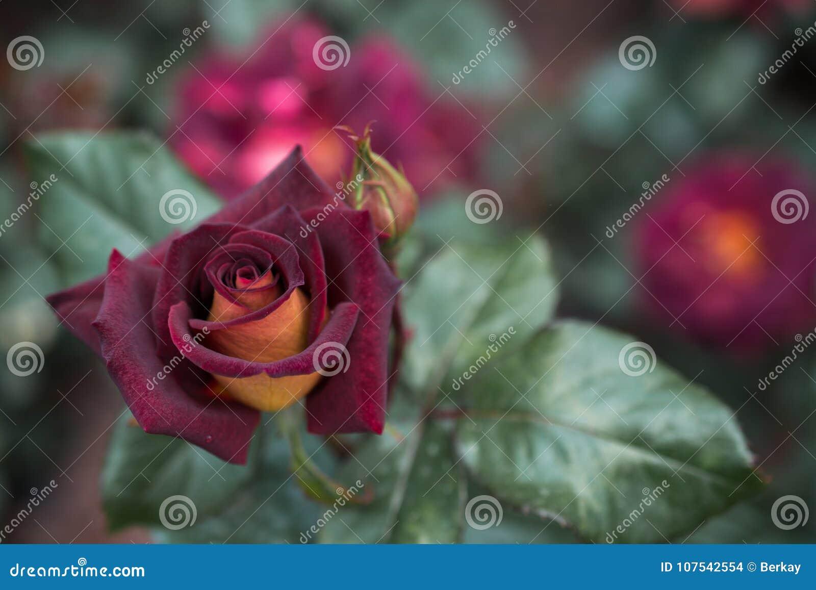 Beautiful Colorful Rose Flower Stock Photo Image Of Beautiful