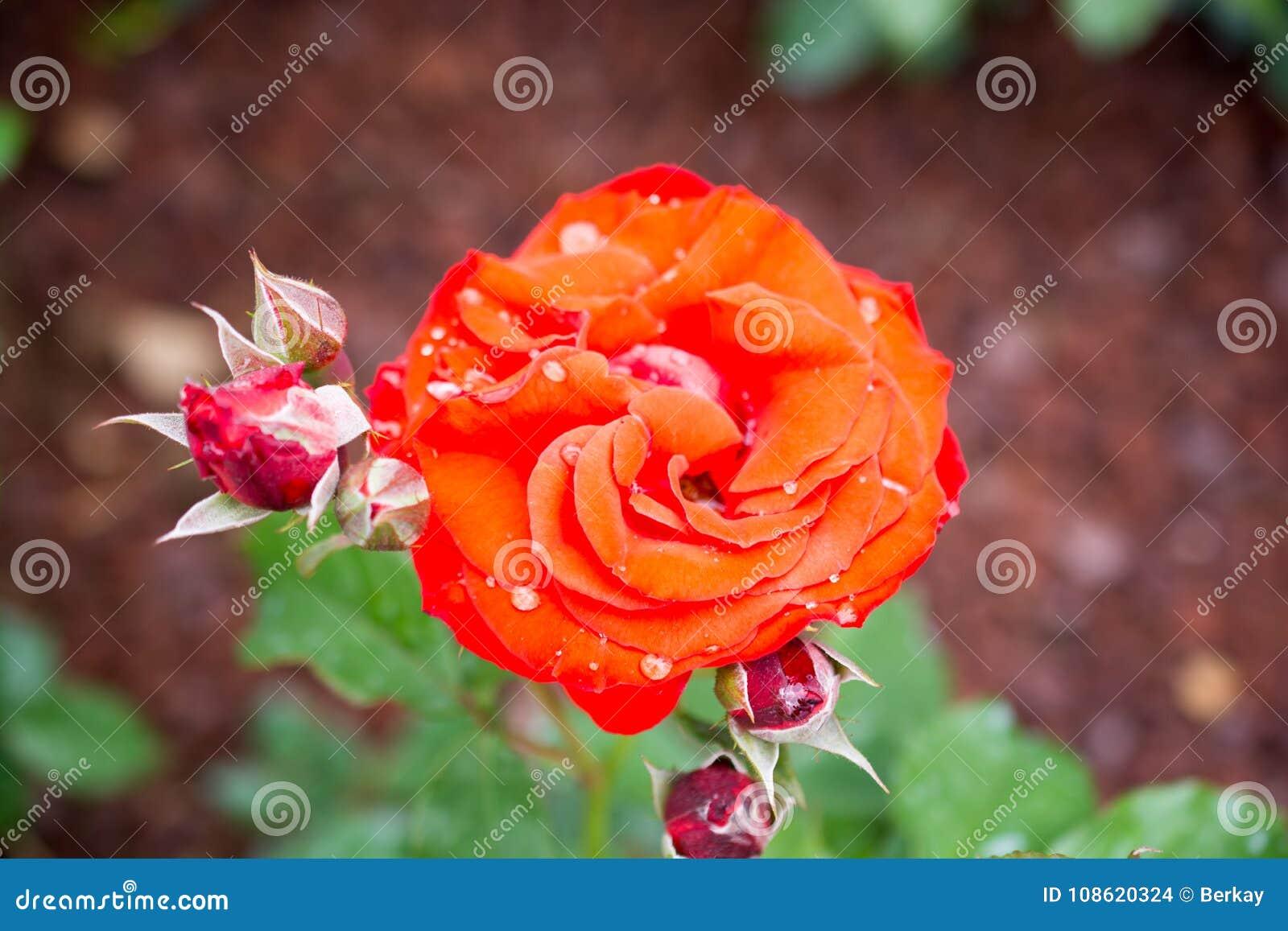 Beautiful Colorful Rose Flower Stock Photo Image Of Nature Single