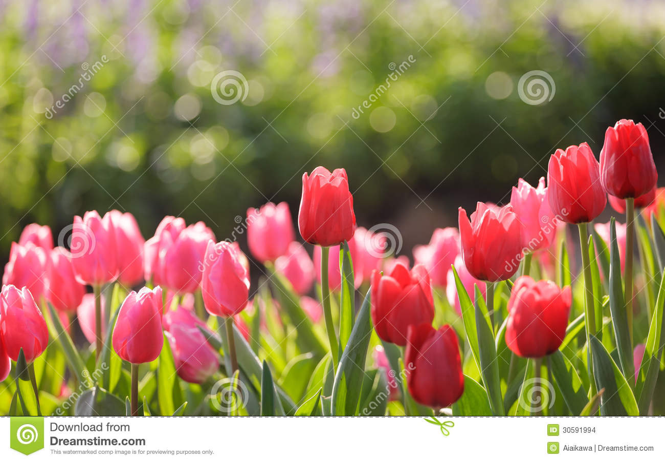 Beautiful Colorful Tulips In Garden Stock Images Image