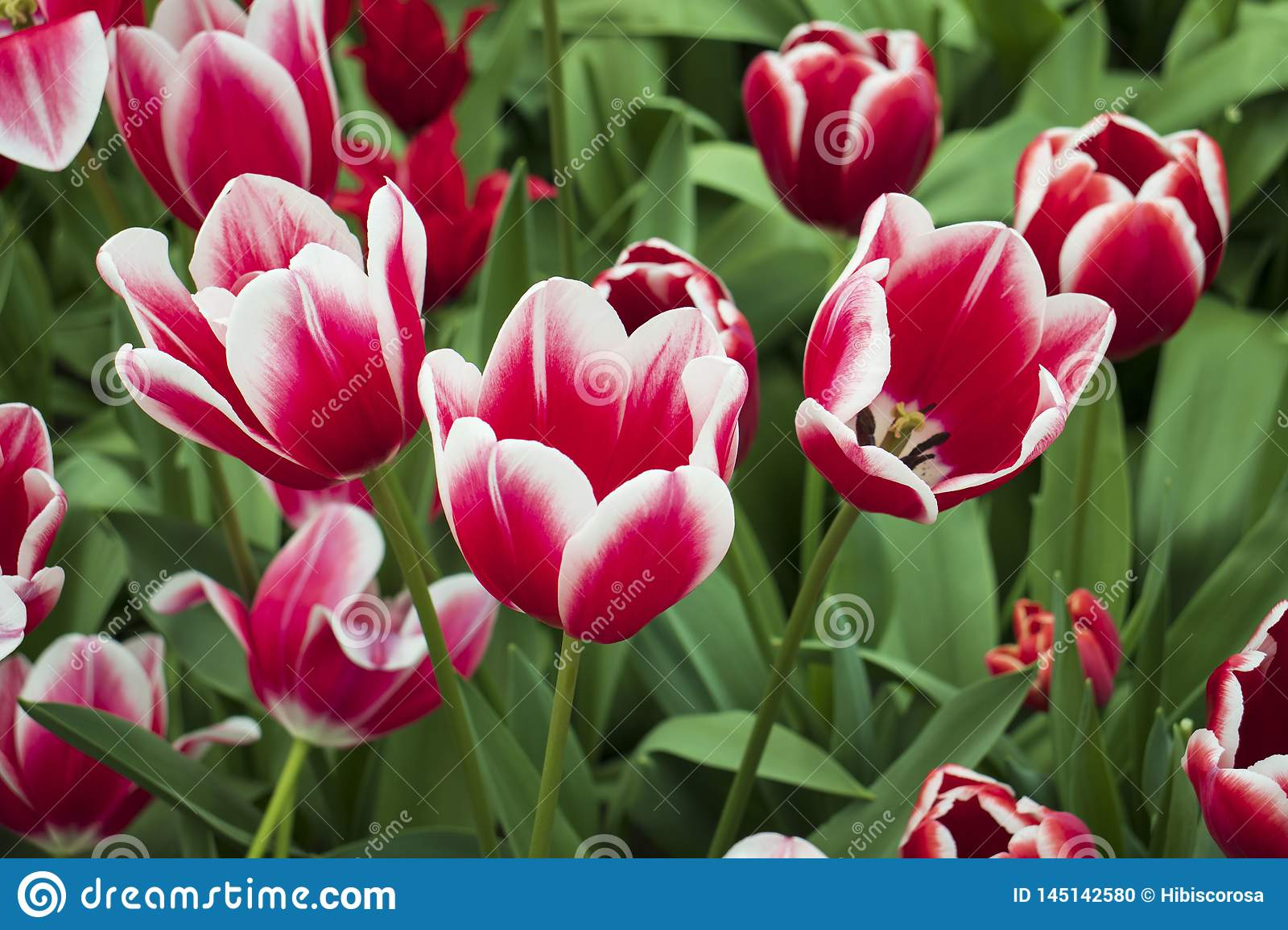 Beautiful and colorful tulips in the park