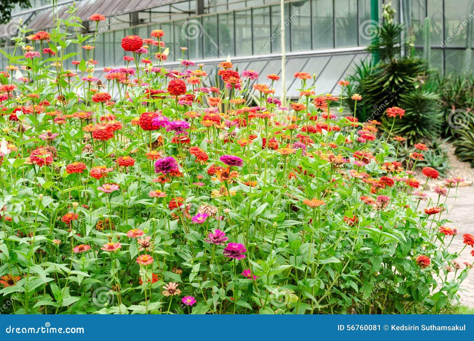 Natural Flower Garden : Beautiful of colorful zinnia flower in natural garden park
