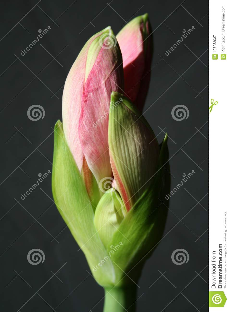 Flowers In Gardens Hippeastrum Candy Floss Amaryllis Stock Image