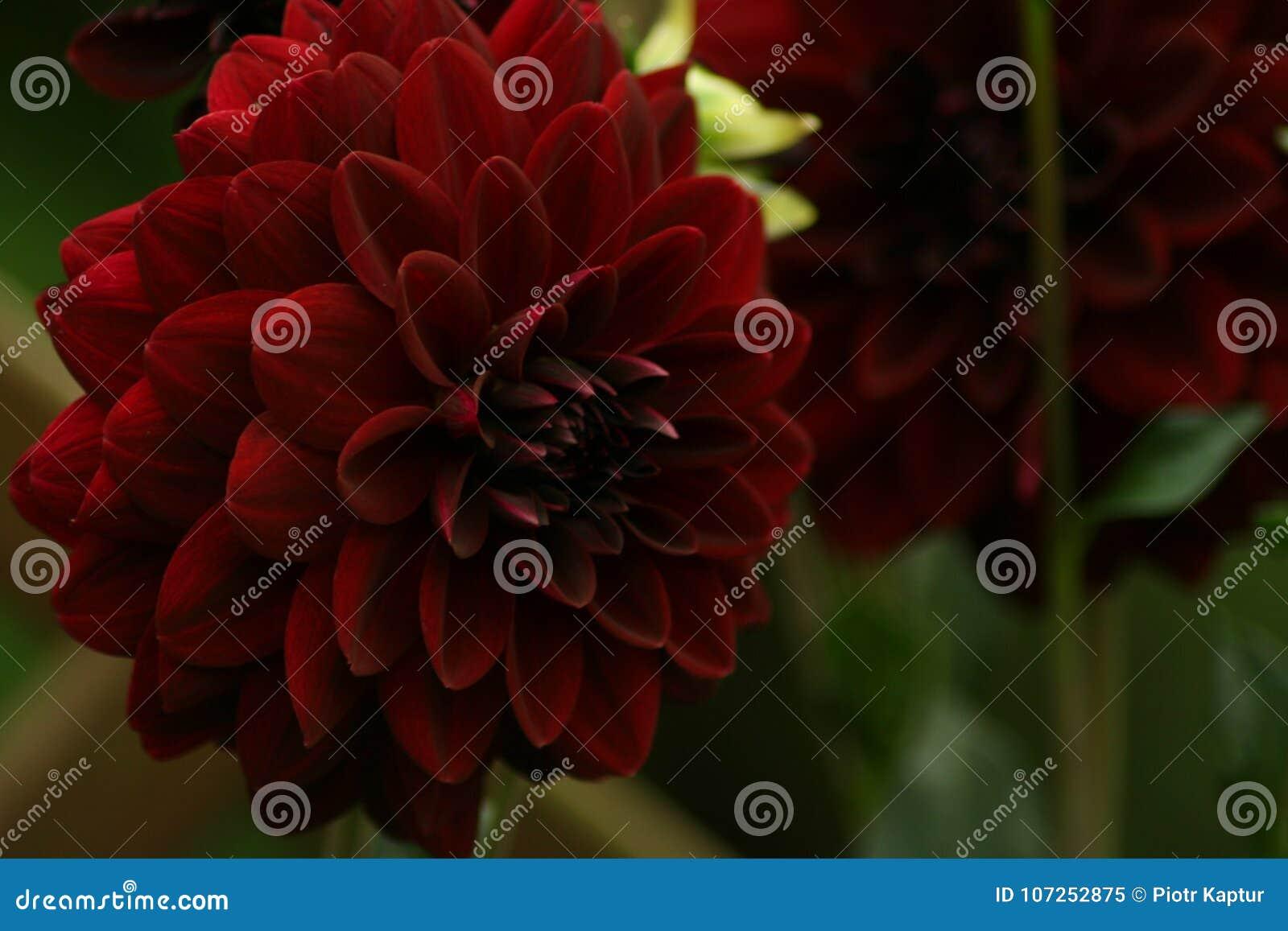 Flowers In Gardens Dahlia Arabian Night Stock Image