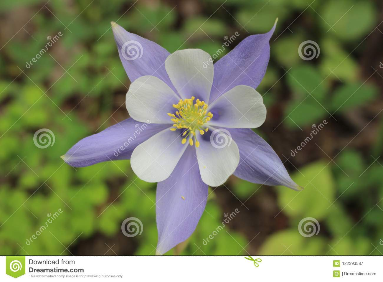 A Columbine Flower In The Colorado Rocky Mountains Stock Image