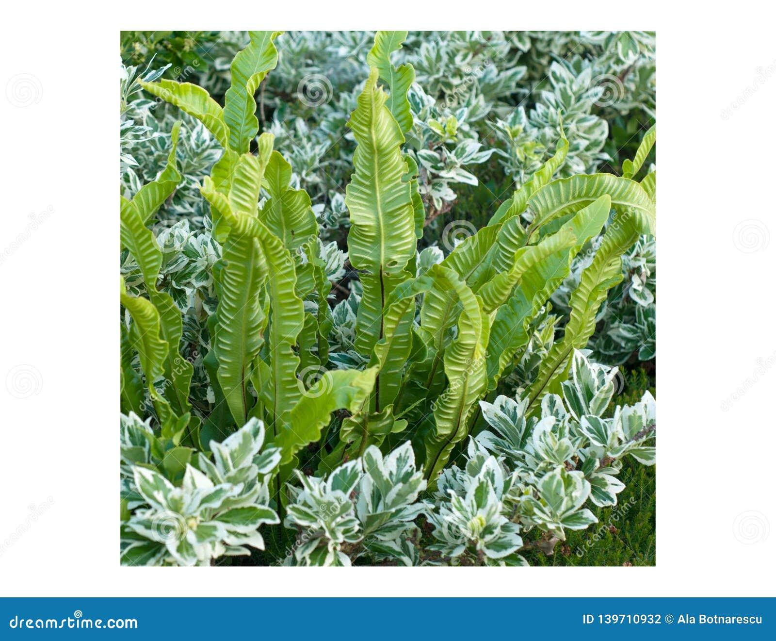 A beautiful combination of Hart`s-tongue fern Asplenium scolopendrium and Parennials shrub