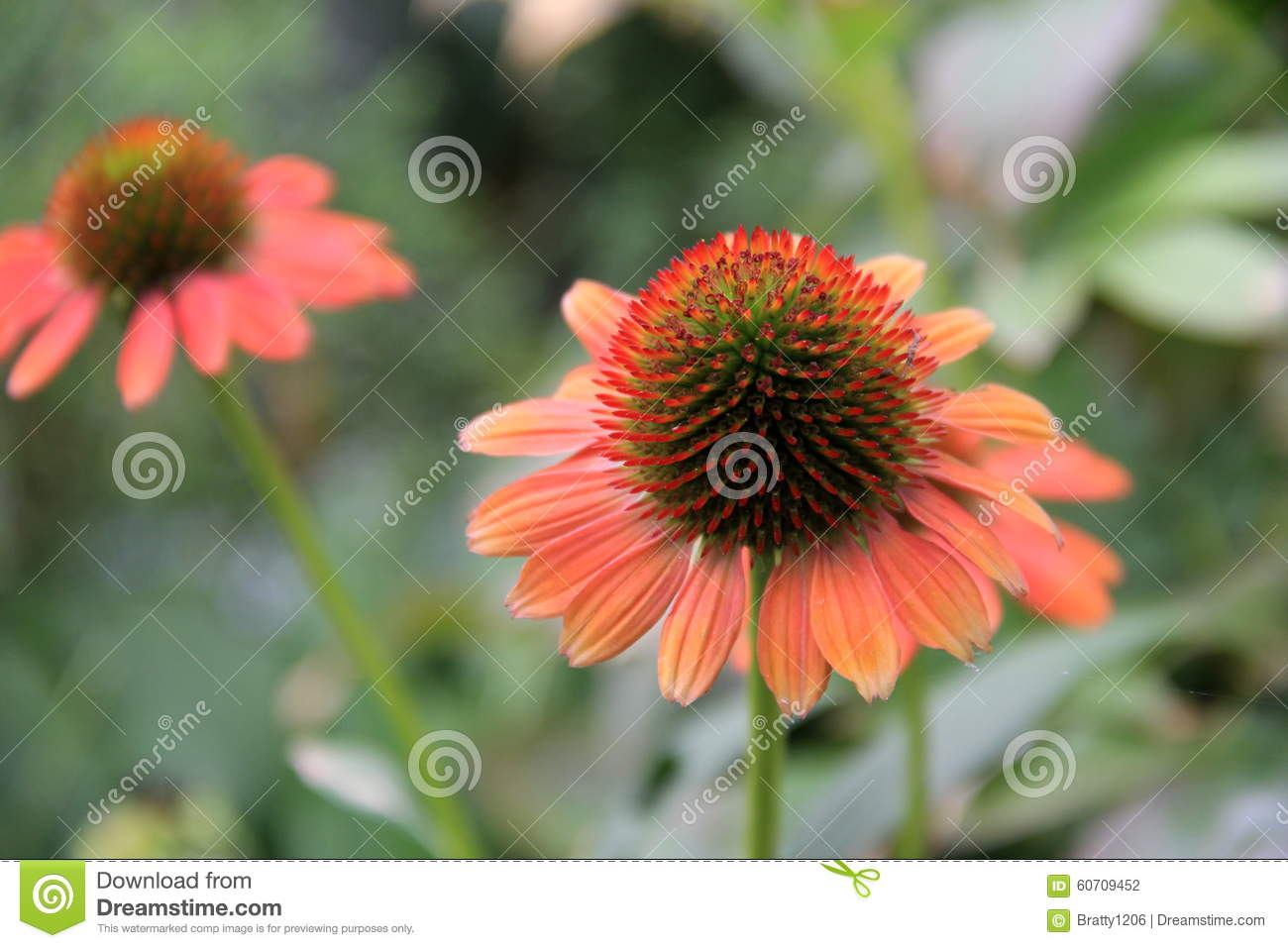 Beautiful Coral Colored Flowers In Landscaped Garden Stock Photo Image Of Detail Elaborate 60709452