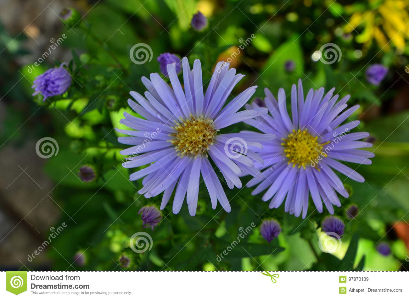Beautiful couple of violet daisy flowers