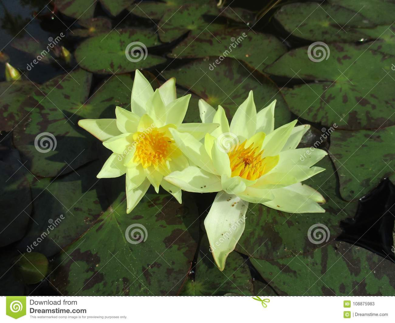 Yellow Flower In A Pond Stock Image Image Of Artistic 108875983