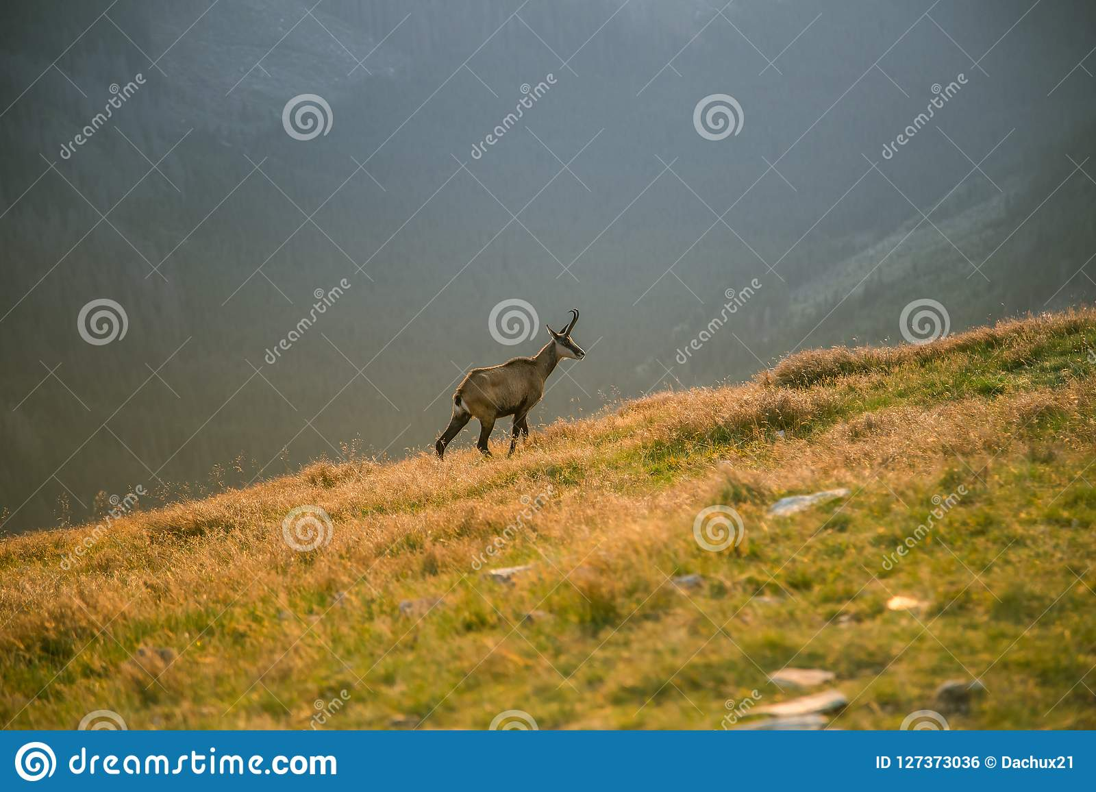A beautiful, curious wild chamois grazing on the slopes of Tatra mountains. Wild animal in mountain landscape.