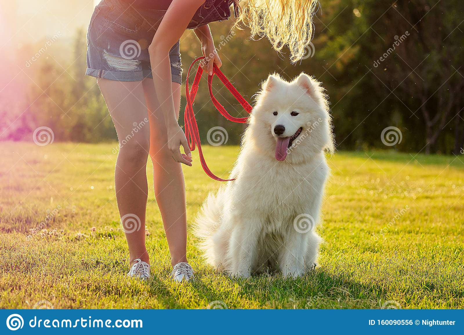 Beautiful Curly Blonde Smiling Happy Young Woman In Denim Shorts Training A White Fluffy Cute Samoyed Dog In The Summer Stock Photo Image Of Alaskan Mammal 160090556