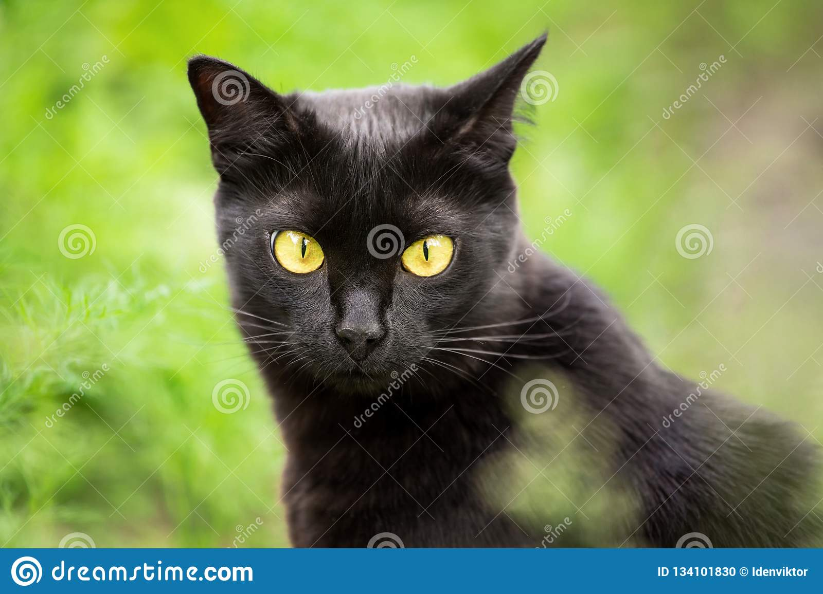 Beautiful Cute Black Cat, Kitty Portrait Outdoor In Nature ...