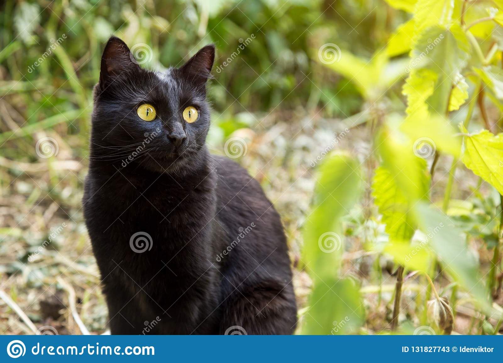 Beautiful Cute Black Cat Portrait With Yellow Eyes Stock Image