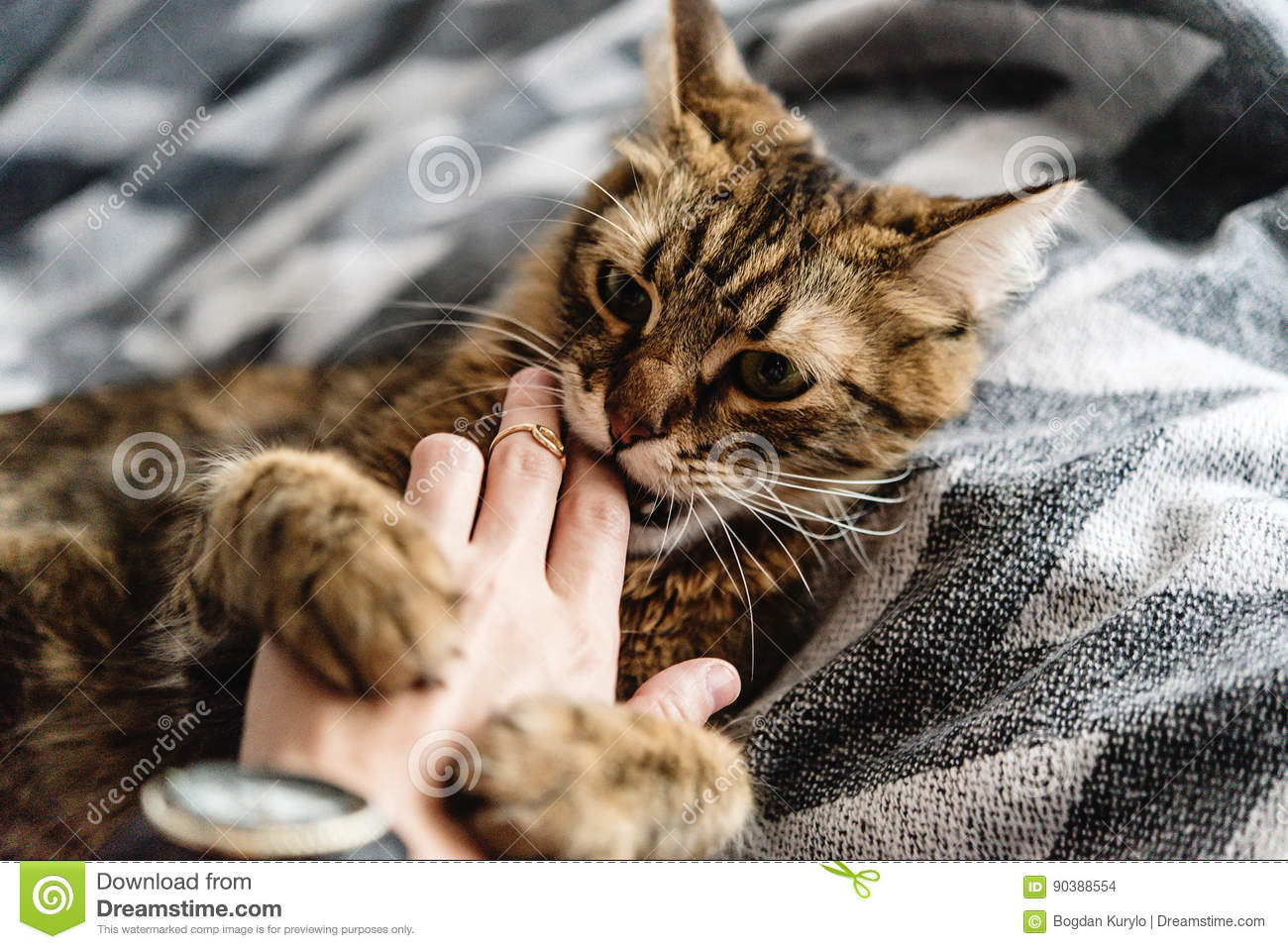 Beautiful cute cat playing with woman hand and biting on stylish