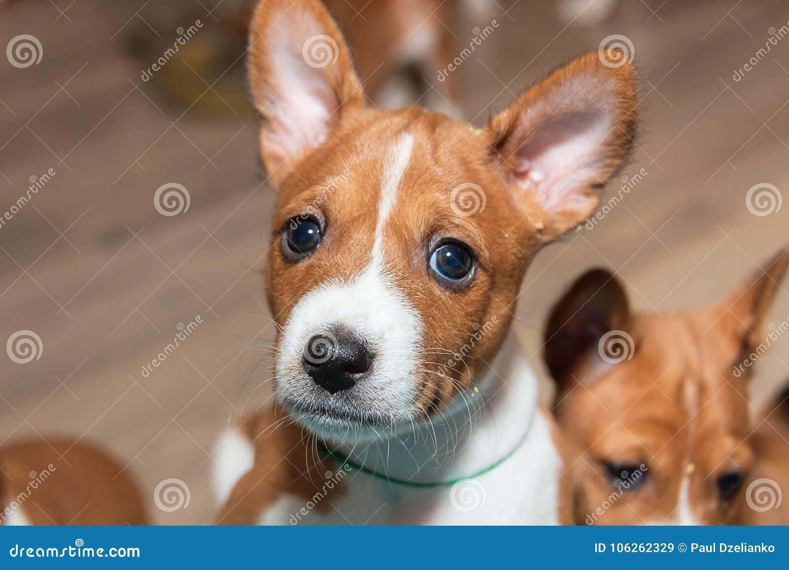 Beautiful Cute Puppy Dogs Not Barking Dog Breed Basenji Stock Image