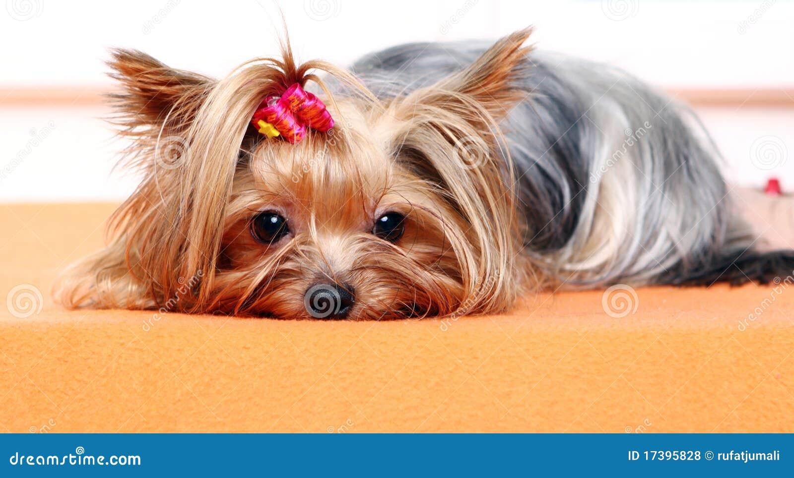 Beautiful And Cute York Terrier Dog: Beautiful And Cute York Terrier Dog Stock Photo