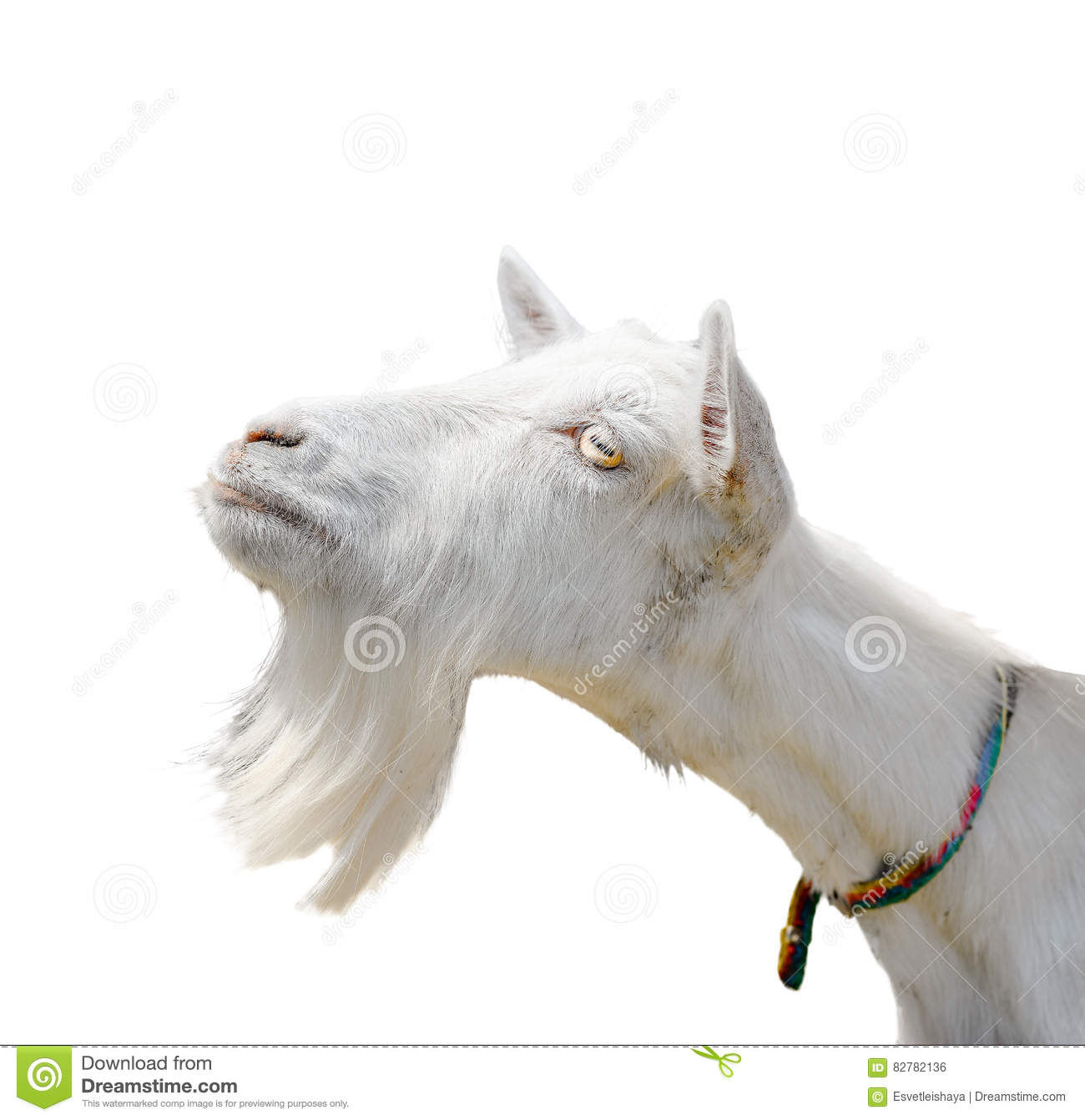 Beautiful, cute, young white goat isolated on white background. Farm animals. Funny goat try to kiss someone