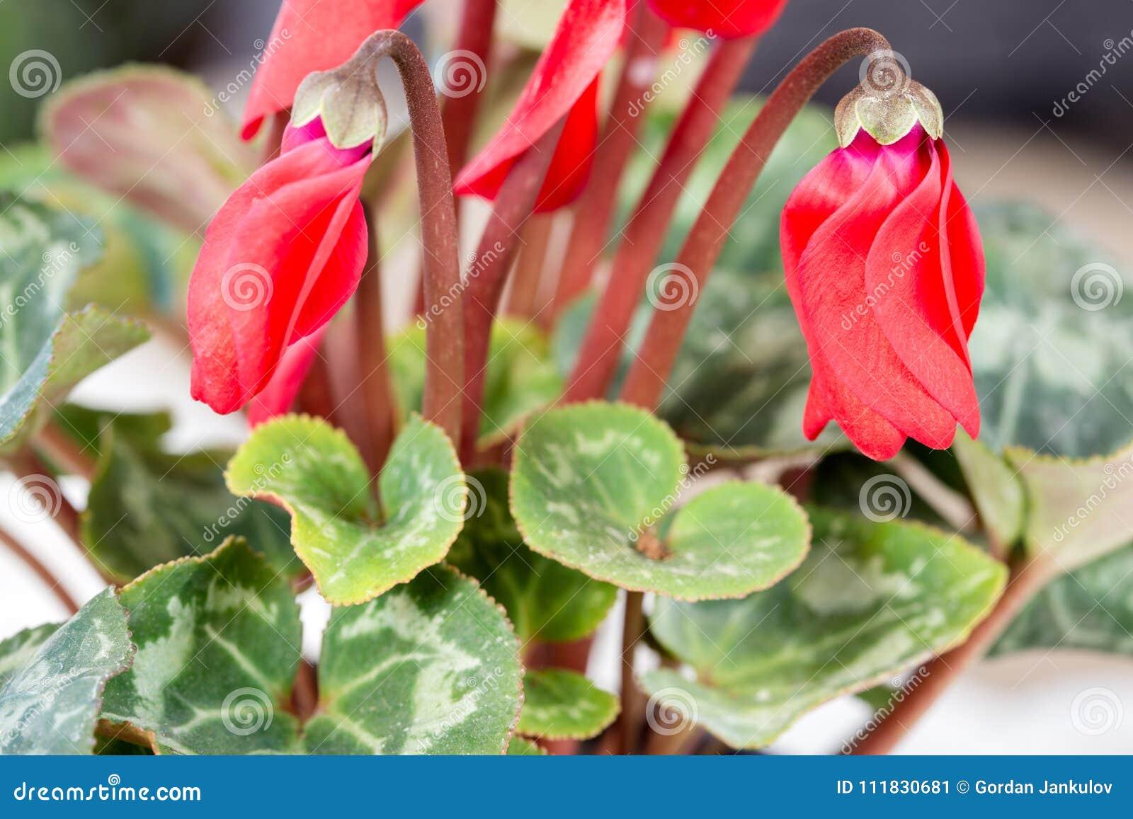 Beautiful Cyclamen Bud Cyclamen Flowers In Pot Stock Image Image