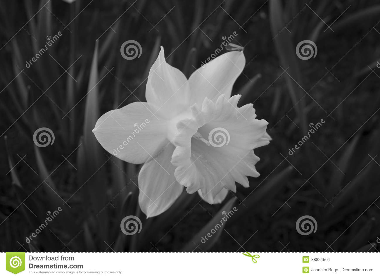 Beautiful Daffodil Flower In Black And White Stock Photo Image Of